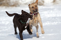 Chocolate and yellow Labrador Retriever Royalty Free Stock Image