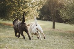 Chocolate and yellow Labrador Retriever sisters running in sync. Chocolate and yellow Labrador Retriever sisters - back ends as they run in sync - tugging a Stock Image