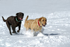 Chocolate and Yellow Labrador Retrievers Stock Photography