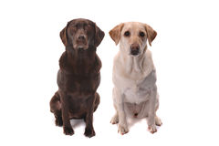Chocolate and yellow labs Royalty Free Stock Image