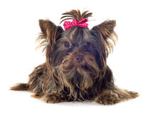 Chocolate yorkshire terrier Stock Photography
