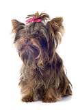 Chocolate yorkshire terrier Royalty Free Stock Photos