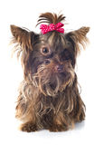 Chocolate yorkshire terrier Stock Photos