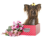 Chocolate yorkshire terrier Royalty Free Stock Photography