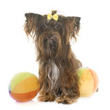 Chocolate yorkshire terrier Stock Images