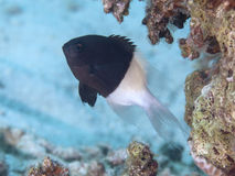 Chocolatedip chromis Stock Photo