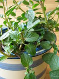 Chocolates mint in herb pot Stock Photo
