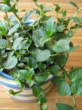Chocolates mint in herb pot Stock Images