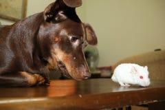 Chocolatte Psi i Biały chomik zdjęcia stock