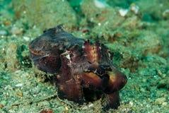 Chocos chamativos em Ambon, Maluku, foto subaquática de Indonésia Foto de Stock Royalty Free