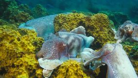 Chocos gigantes australianos masculinos que protegem sua fêmea como tenta colocar seus ovos durante a estação de acoplamento da m imagem de stock royalty free