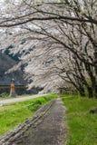 Chodniczek zakrywający Sakura drzewami Zdjęcie Royalty Free