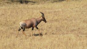 Chodząca topi antylopa w masai Mara zdjęcie wideo