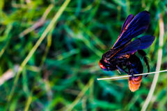 Chodzące nieżywe pszczoły wtykać na suchej trawie Fotografia Royalty Free