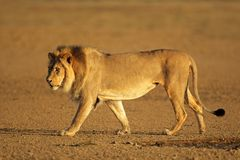 Chodzący Afrykański lew Obrazy Stock