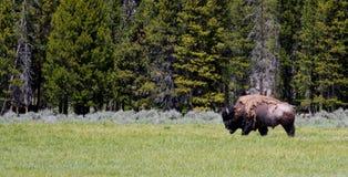 Chodzący bizon Zdjęcie Royalty Free