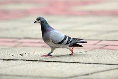 Chodzący gołąb Fotografia Royalty Free