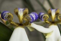 Chodzący irys: Biały, purpuro/, apostoł roślina zdjęcia royalty free