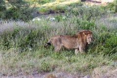 Chodzący lew Zdjęcia Stock