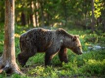 Chodzący niedźwiedź brunatny w lato lesie zdjęcia royalty free