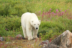 Chodzący niedźwiedź polarny 1 fotografia stock