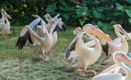 Chodzący pelikan Zdjęcia Stock