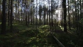 Chodzący przez głębokiego świerczyna las naprzeciw słońca, światło słoneczne obiektywu raca zbiory