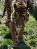 Chodzący tygrys - szczegół głowa obraz royalty free