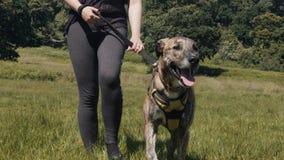 Chodzący zwierzę domowe pies na smyczu w parku, zieleni łące na letnim dniu/ zbiory wideo