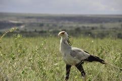 Chodzący sekretarka ptaka Sagittarius serpentarius Fotografia Stock