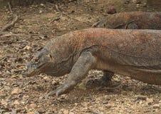 Chodzić Komodo smoka zdjęcie stock