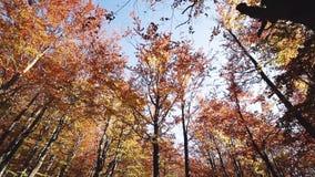 Chodzić przez jesień lasu - widok wierzchołki deciduous czerwoni pomarańczowi drzewa zbiory