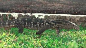 Chodzić Varanidae Wodnego monitoru jaszczurka na zielonej trawie w jawnym parku HANDHELD zdjęcie wideo