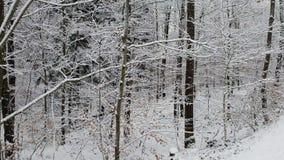 Chodzić w zima lesie podczas opad śniegu zbiory