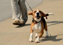 Chodzić Beagle Obraz Stock