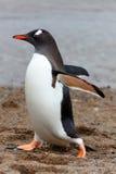 Chodzi Gentoo penguine, Antarctica Zdjęcia Royalty Free