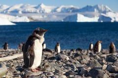 Chodzić Gentoos, Cuverville wyspy Gentoo pingwiny Zdjęcia Royalty Free