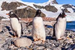 Chodzić Gentoos, Cuverville wyspy Gentoo pingwiny Zdjęcie Stock