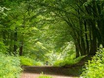 Chodzić psa przez beechwood lasu Fotografia Royalty Free