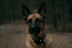 Chodzi psa przez drewien Zdjęcie Royalty Free