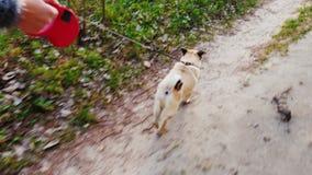 Chodzi twój ulubionego zwierzęcia domowego - pies mopsa traken Zabawy 3 osi pov stabilizowany wideo zdjęcie wideo
