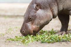 choeropsis hipopotamowy liberiensis pigmej Obrazy Royalty Free