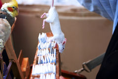 Choice. (luck) concept, a small rat choosing a fortune lottery ticket, prophecy message paper Stock Image