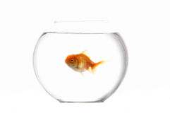 Choie le goldfish Photographie stock libre de droits