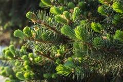 Choinek gałąź z potomstwami delikatnie zielonymi i miękkimi igłami zdjęcia royalty free