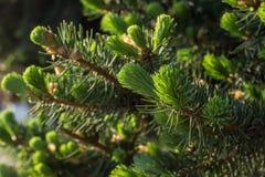 Choinek gałąź z potomstwami delikatnie zielonymi i miękkimi igłami fotografia stock