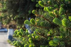 Choinek gałąź z potomstwami delikatnie zielonymi i miękkimi igłami obrazy stock