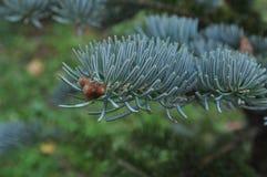 Choinka rozgałęzia się błękit Zdjęcie Royalty Free