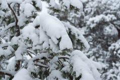 Choinka w śniegu w górę, zima las zdjęcie royalty free