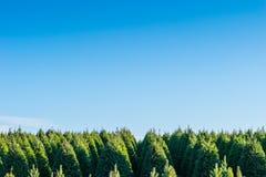 Choinki na czerwieni ziemi w gospodarstwie rolnym, kraj strona Zdjęcia Stock